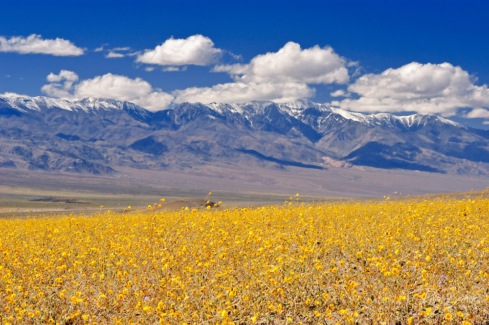 Desert Gold (Geraea canescens) and snow-covered  Telescope Peak, Death Valley National Park, California