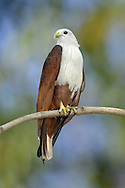 Brahminy Kite - Haliastur indus Widespread in the Indian subcontinent, southeast Asia and N Australia. Usually found in the vicinity of water, and on coasts. Catches fish and also scavenges.