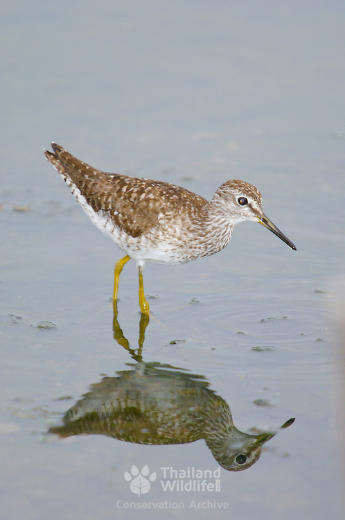 Marsh Sandpiper, Tringa stagnatilis