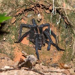 """""""Aranha-caranguejeira (Theraphosidae) fotografado em Linhares, Espírito Santo -  Sudeste do Brasil. Bioma Mata Atlântica. Registro feito em 2014.<br /> <br /> <br /> <br /> ENGLISH: Tarantula photographed in Linhares, Espírito Santo - Southeast of Brazil. Atlantic Forest Biome. Picture made in 2014."""""""