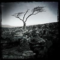 Tree, North Yorkshire Dales