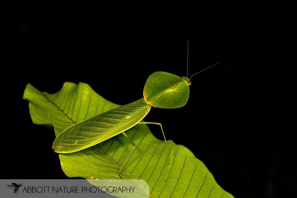 shield mantis, hood mantis (or hooded mantis), or leaf mantis (Choeradodis sp.)<br /> BELIZE: Cayo District <br /> Ian Anderson's Caves Branch Lodge near Armenia<br /> 7-Aug-2015<br /> J.C. Abbott &amp; K.K. Abbott