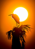a solitary great blue heron stands in perfect silhouette against the burning sun rising up above the wetlands and palm trees