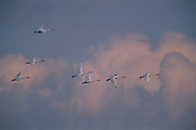 Whooper swans<br /> (Cygnus cygnus)<br /> Eastern Steppe<br /> Mongolia<br /> Range: Palearctic, winter in India & China
