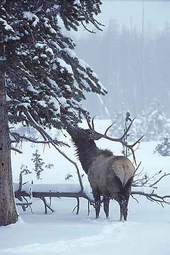 Elk, (Cervus elaphus) bull with one antler shed in Snowy timber, feeding on pine tree needles. Winter.