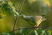 Orange Breasted Green Pigeon. Female. feeding at Tissamaharama.