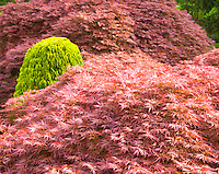 Japanese acers with a small conifer