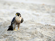 Peregrine Falcon at the Beach ... Cocoa Beach, Florida - fastest animal alive