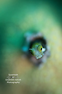 """Oscar The Grouch"" - A secretary blenny peers out of its home.  Photographed with Nauticam SMC and shallow-depth-of-field. Grand Cayman"