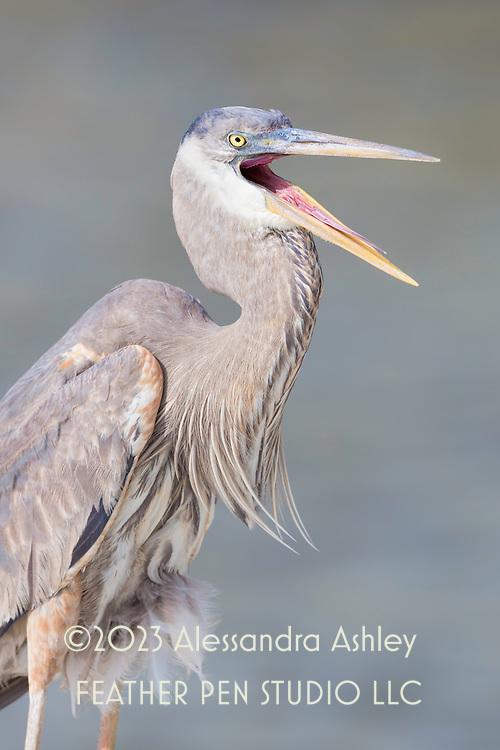 Great blue heron (Ardea herodias) emits a giant squawk. Oceanfront, Sanibel Island, FL.
