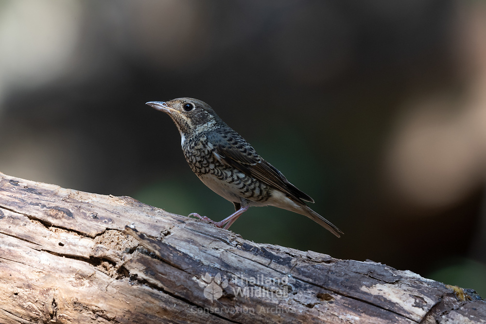 A female white-throated rock thrush (Monticola gularis). A species of bird in the family Muscicapidae of the order Passeriformes. Photographed in Pang Sida National Park, Thailand.