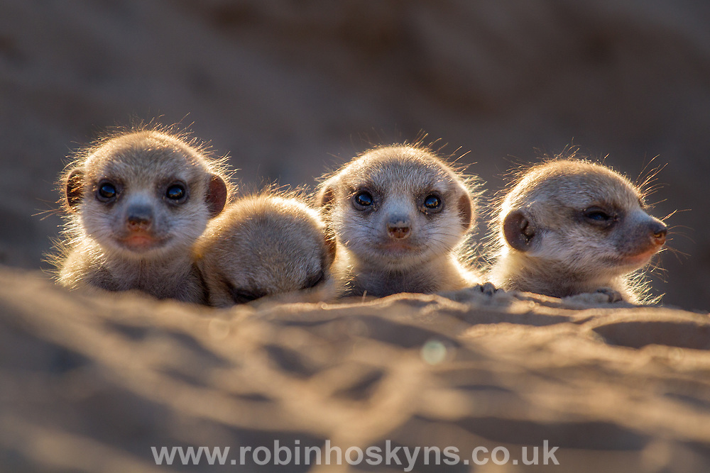 Four young Meerkat pups at the burrow entrance.