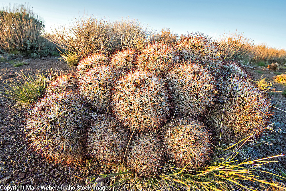 Goose Creek Mountains, Hedgehog Cactus Pediocactus near Deer Creek and Buckbrush Flats in the Goose Creek Mountains in southern Idaho