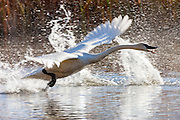 A trumpeter swan (Cygnus buccinator) runs across the water of a pond to take flight in the National Elk Refuge in Jackson Hole, Wyoming.