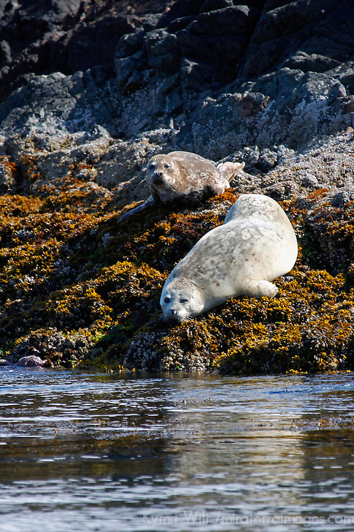 North America, Canada, British Columbia, Vancouver Island. Harbor Seals of the Broken Group Islands.