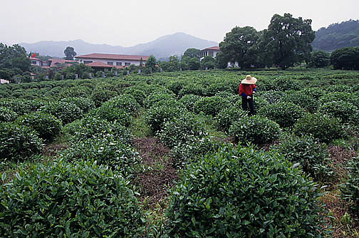 China, Agriculture, Farmer picking tea leaves near city of Hangzhou.