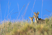 Spanish Ibex (Capra pyrenaica). Female with two fawns on herbaceous hill. Spain.