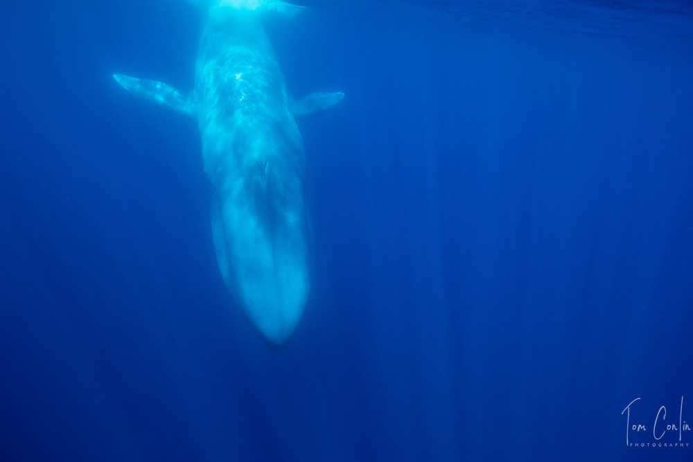 blue whale ~ Balaenoptera musculus ~<br /> Pico, Azores, Portugal ~ &quot;This work was performed under the authorization n.0 XX-ORAC-2018 issued by the Government, on February 22, 1018&rdquo;