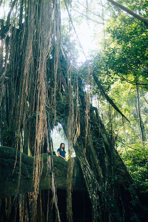 A large tree with tangled roots and vines inside the Monkey Forest in Ubud, Bali, Indonesia.