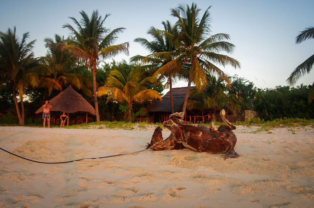 A horse named Slash rolls on the sand after bathing in the sea at sunset on Benguerra island.