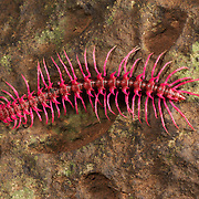 Shocking Pink Dragon Millipede (Desmoxytes purpurosea) is a spiny and toxic millipede aptly named for its bright pink color. It was discovered in Thailand in 2007. These adult millipedes are approximately 3 cm long and live in the open on leaf litter. The millipedes have glands that produce hydrogen cyanide to protect them from predators. The shocking pink dragon millipede was named third in the top ten species in 2008 by the International Institute for Species Exploration.