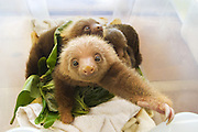 Hoffmann's Two-toed Sloth <br /> Choloepus hoffmanni<br /> Orphaned babies<br /> Aviarios Sloth Sanctuary, Costa Rica<br /> *Rescued and in rehabilitation program