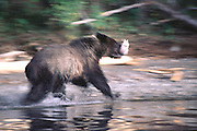Grizzly running with salmon