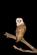 Barn Owl (Tyto alba) on a branch at night, Carmel, Israel