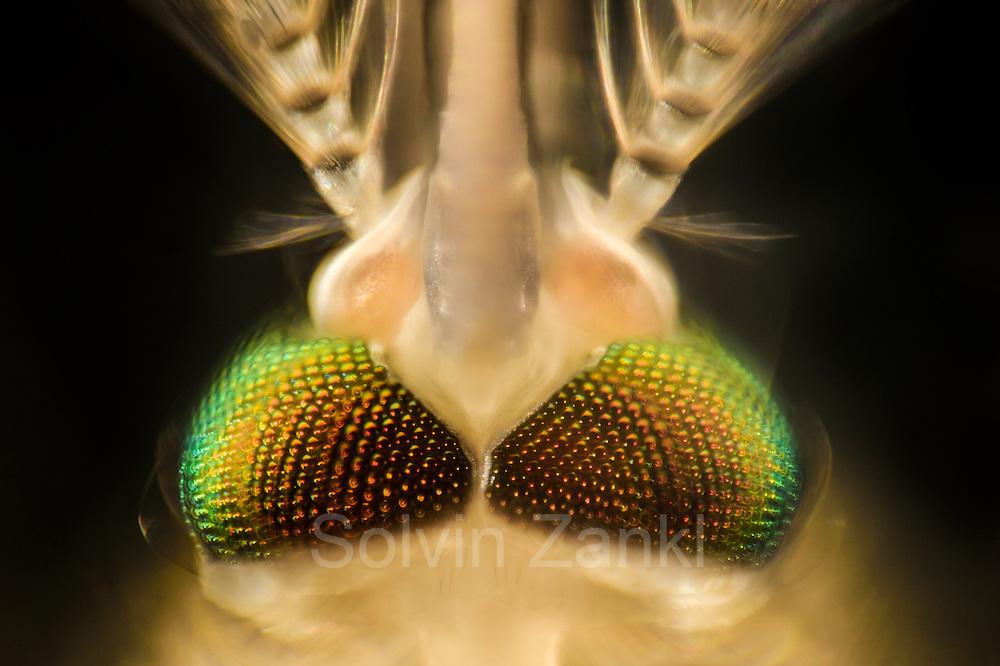 Mosquito (Culex pipiens) head, Kiel, Germany | Männliche Hausmücke (Culex pipiens)