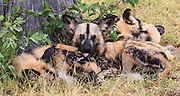 African Wild Dogs (Lycaon pictus) rest together at Lebala Camp, Botswana.  We were able to observe this pack of wild dogs resting and playing.  This particular dog was bathing its sibling.  This pack had split from another one and now was mainly year old puppies with a couple of adults.