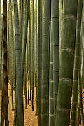 bamboo grove Arashiyama Japan