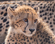 Portrait of young cheetah resting at the flank of its mother, Phinda Game Reserve, South Africa, © 2019 David A. Ponton
