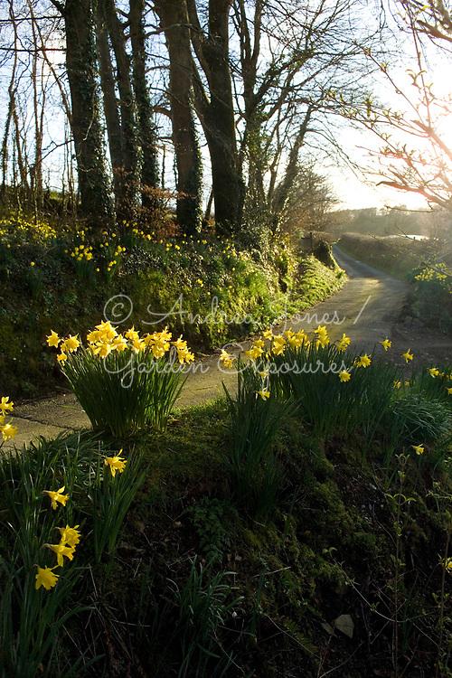 Narcissus sp (daffodils) growing in woods at Llandysul, Ceredigion, Wales
