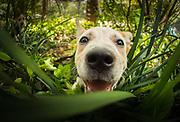 Red Heeler Australian Cattle Dog puppy, Brisbane, Queensland, Australia