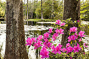 Azalea shrubs blooming along the blackwater bald cypress and tupelo swamp during spring at Cypress Gardens April 9, 2014 in Moncks Corner, South Carolina.