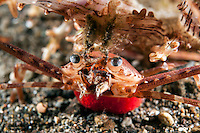 Swimming Crab with large red egg mass.<br /> <br /> Shot in Indonesia
