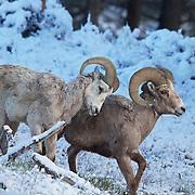 Bighorn rams in fresh morning snow. Northern Yellowstone
