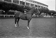 09/08/1962<br /> 08/09/1962<br /> 09 August 1961<br /> RDS Horse Show, Ballsbridge Dublin, Thursday. <br /> Picture shows Ladies Hunter Champion of Show winner of Ladies Hunter Perpetual Trophy. Parading in the  Enclosure of RDS, &quot;Enchanted&quot; owned and ridden by Mrs David Price, Kilmokea, Campile, Co. Wexford.
