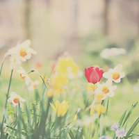 A red tulip surrounded by white and yellow daffoils in an english garden