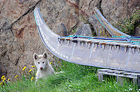 Greenlandic sleddog puppy under a sled in Sisimiut are pure bred sleddog and by law no other dog breeds are allowed in Northwest Greenland.