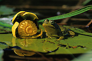 Bullfrog (Rana catesbeiana) near bullhead lily.