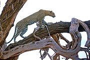 Leopard (Panthera pardus) climbing a tree late in the evening in Samburu National Reserve, Kenya.