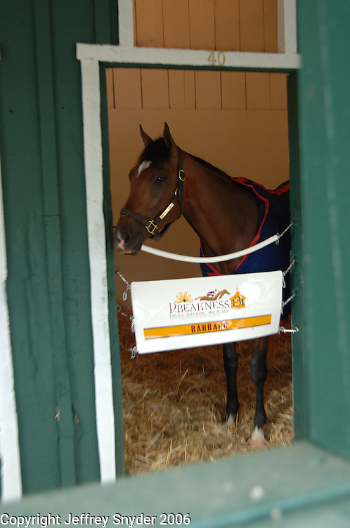 Barbaro in the stakes barn at Pimlico Race Course the morning of the 132nd Preakness Stakes