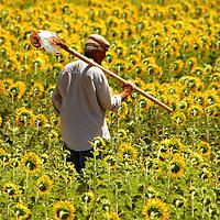 Turkish farmer in sunflower field