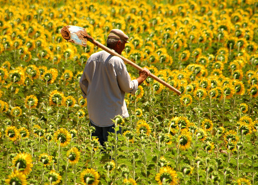 Turkish farmer in sunflower field