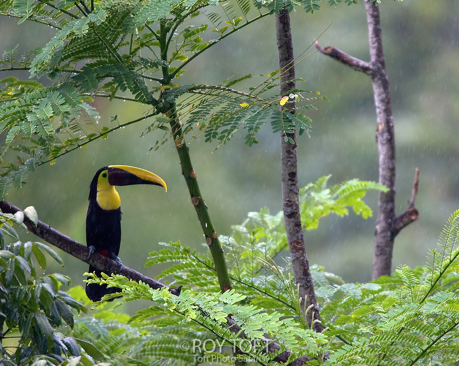A Chestnut-mandibled toucan (Ramphastos swainsonii) perches on a branch in the rain, Costa Rica.