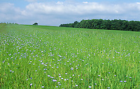 field margin with wild flowers including flax for insects