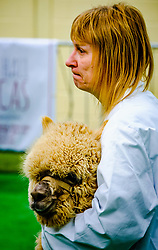 Lanark Scotland 15th April 2017:  The Second Scottish Alpaca Championship, organised by the Scottish Alpaca Group, took place on Saturday 15th April 2017 at Lanark Auction Market. The event had a record entry of 140 alpacas being shown and judged.<br /> <br /> An Alpaca in the show ring with it's handler.<br /> <br /> (c) Andrew Wilson   Edinburgh Elite media