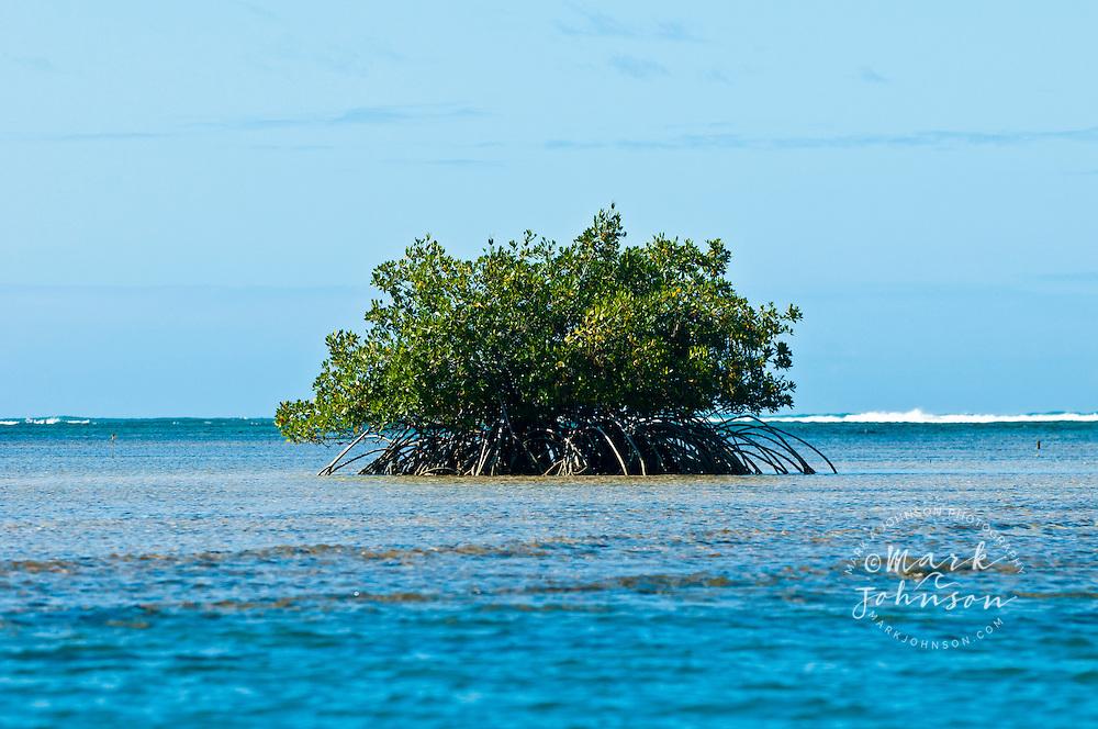 Mangrove tree on reef flat off Honolulu, Oahu, Hawaii