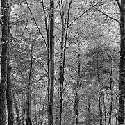 Every Shade Of Gray Tree Grove - Laurel Falls Trail - Great Smoky Mountains - Black & White